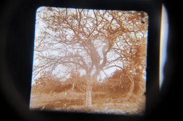 Example of stereoscopic slide ( skeletal remains of horse in tree) Sanctuary Wood Museum (Hill 62), Zillebeke, Ypres.